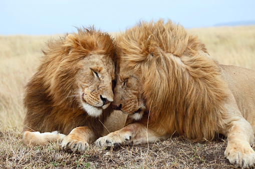Lion brothers 485651834