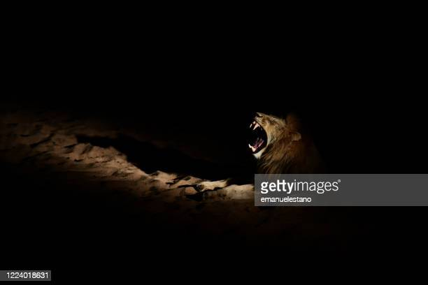 lion by night in the timbavati nature reserve, greater kruger area, south africa - night safari stock pictures, royalty-free photos & images