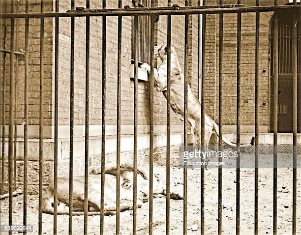Lion Cage Carnivore House Philadelphia Zoological Gardens c 1900 Vintage Photograph