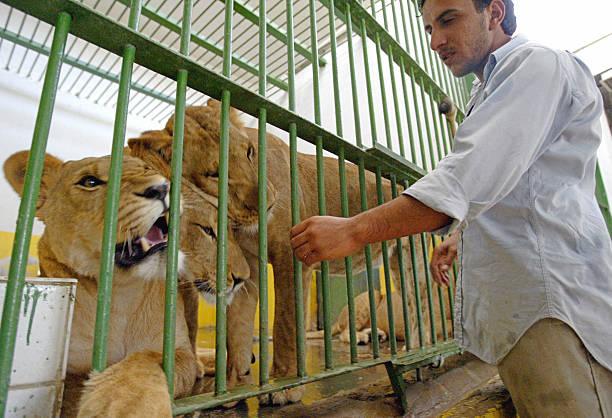Lion caretaker Jaffar Thahab, plays with Pictures | Getty ...  Lion caretaker ...