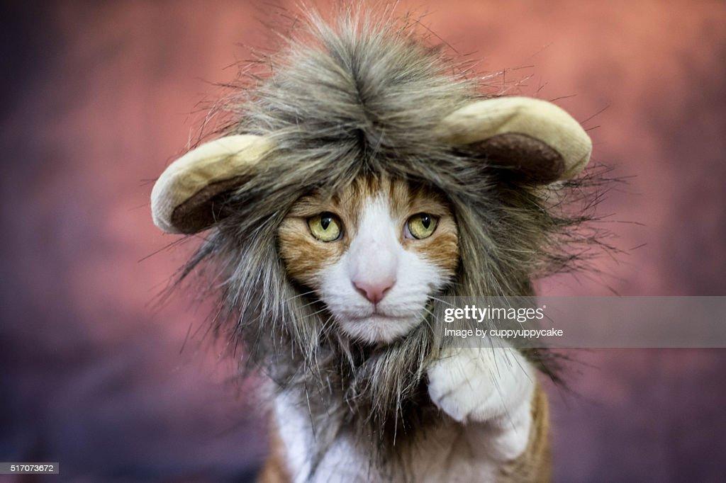 Lion Cat Costume : Stock Photo
