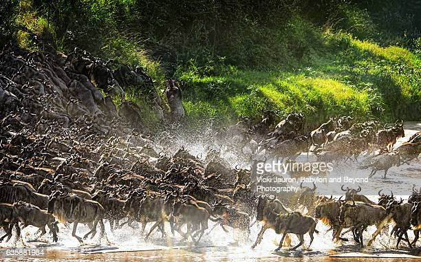 Lion Causes Commotion Among the Wildebeest in the Serengeti, Tanzania