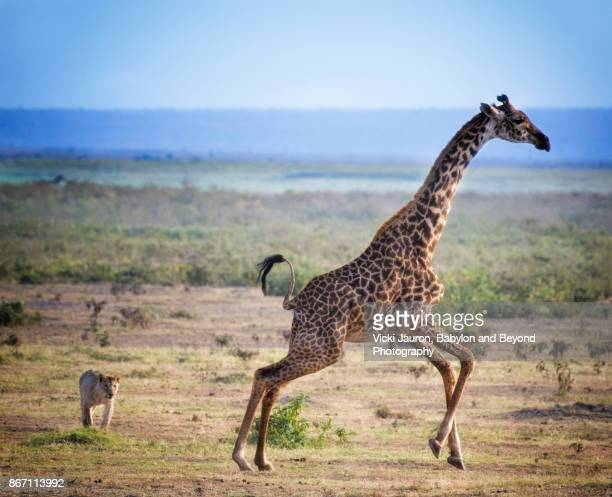 Lion Chases Giraffe in Amboseli
