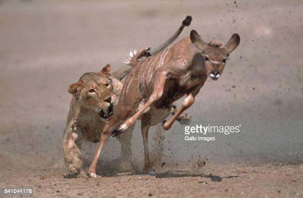 Lion Chasing Kudu