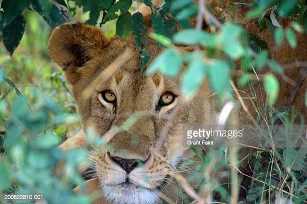 lion (panthera leo), close-up - 待ち伏せ ストックフォトと画像