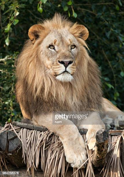 lion close-up portrait - animal whisker stock pictures, royalty-free photos & images