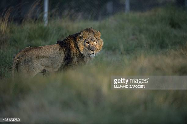 A Lion coming from an abusive background in Europe is pictured after being released at the Lionsrock Lions Sanctuary on October 17 2015 in Bethlehem...