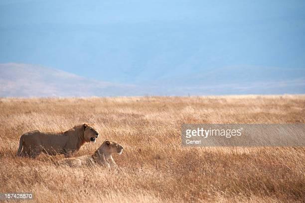 Lion couple in Ngorongoro Crater, Tanzania, Africa