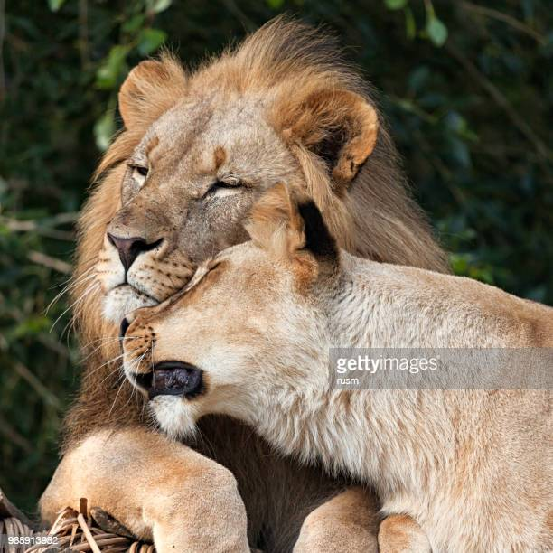 Lion Couple kissing