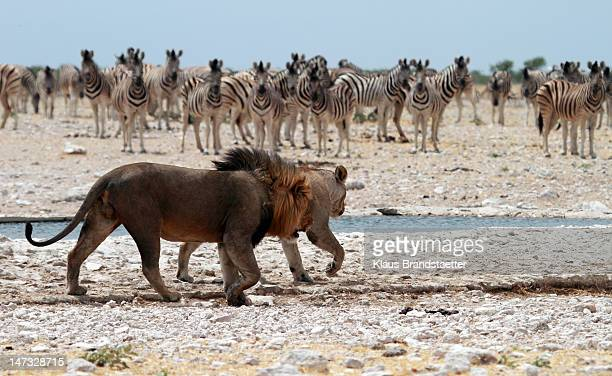 lion couple looking for quiet place - waterhole stock pictures, royalty-free photos & images