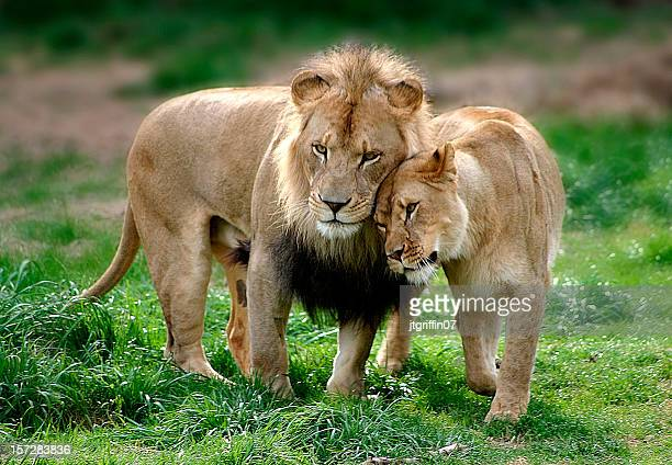 lion couple #2 - lion stockfoto's en -beelden