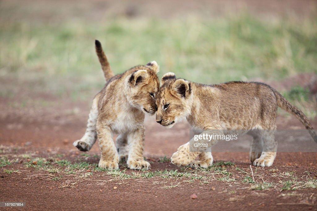 Lion cub affection : Stock Photo