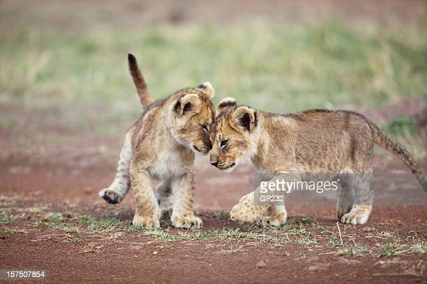 Lion cub affection