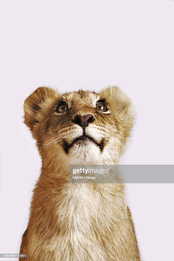 Lion cub (Panthera leo) against white background, looking up : Stock Photo