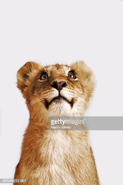 Lion cub (Panthera leo) against white background, looking up