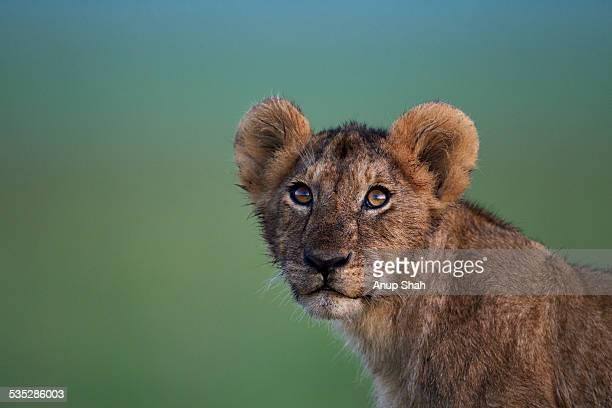 Lion cub aged about 1 year portrait