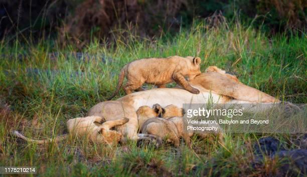 lion cub biting mom while siblings nurse at masai mara, kenya - naughty nurse images stock photos and pictures