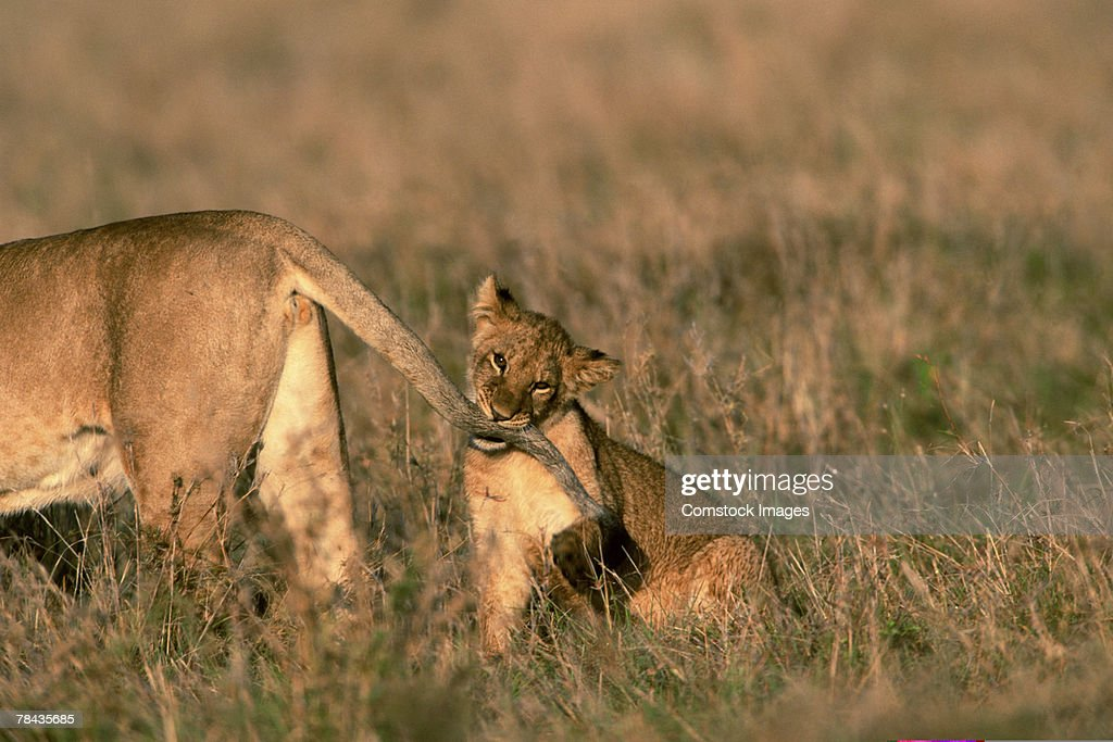 Lion cub chewing on mother's tail , Kenya , Africa : Stockfoto
