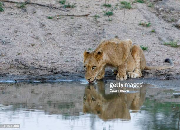 lion cub drinking water from waterhole at sabie park - waterhole stock pictures, royalty-free photos & images
