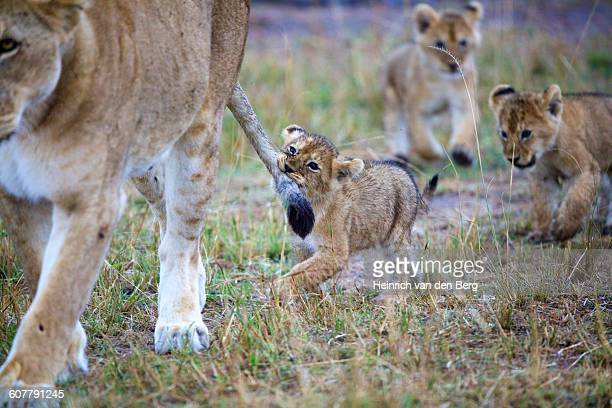Lion cub hanging on to tail