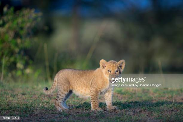 Lion cub in the Mara