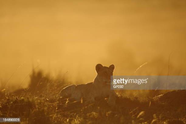 Lion cub in the morning light