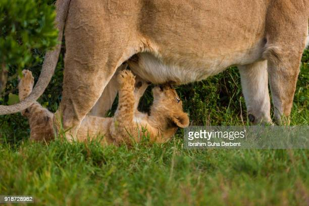 Lion cub is drinking milk from its mother breast.