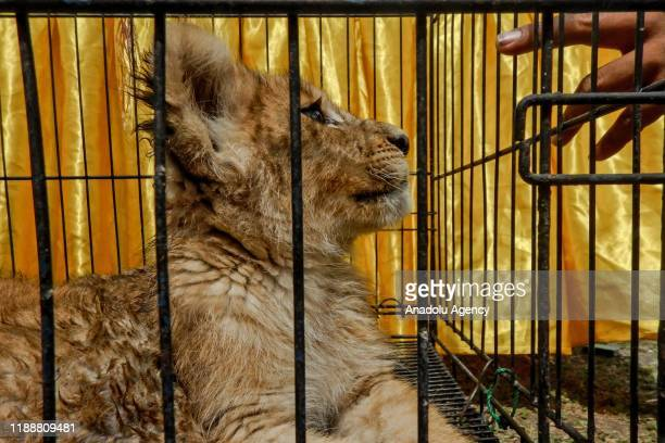 Lion cub is seen after it was saved from illegal wildlife trafficking by Riau Police authority in Pekanbaru Riau Indonesia on December 15 2019