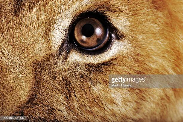 Lion cub (Panthera leo), light reflecting in eye, close-up