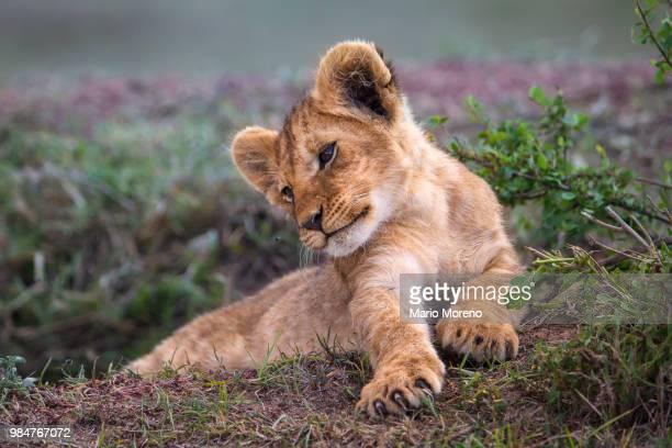 a lion cub lying down. - lion cub stock-fotos und bilder