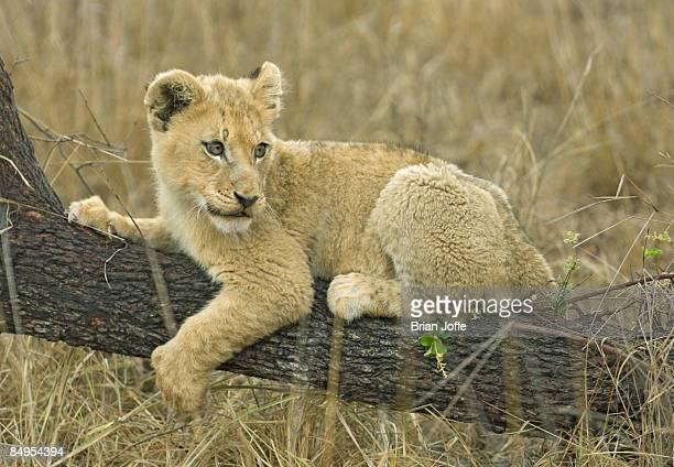 Lion (Panthera leo) cub lying on branch, Mashatu Game Reserve, Botswana