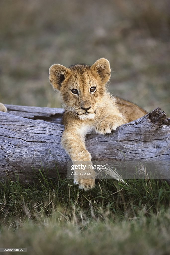 Lion cub (Panthera leo) lying on log : Stock Photo