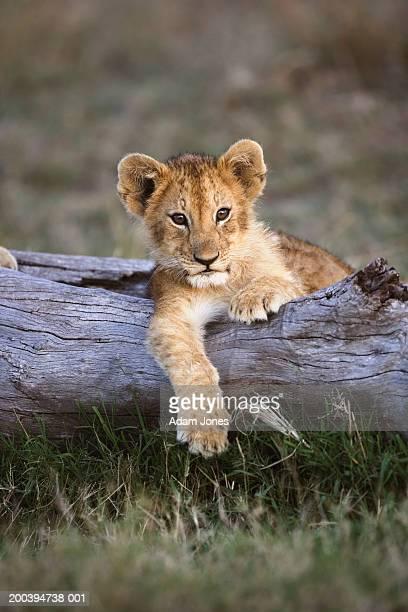 lion cub (panthera leo) lying on log - lion cub stock-fotos und bilder