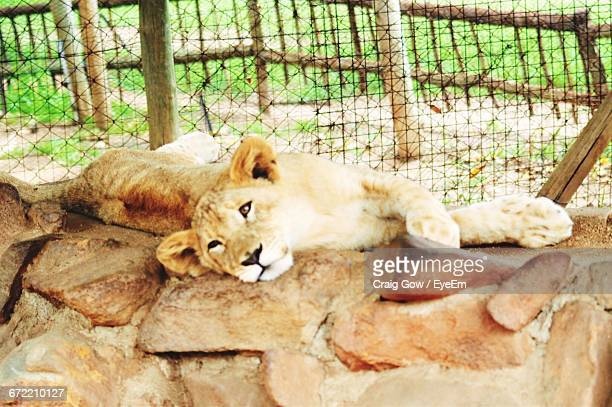 Lion Cub Lying On Rocks In Cage