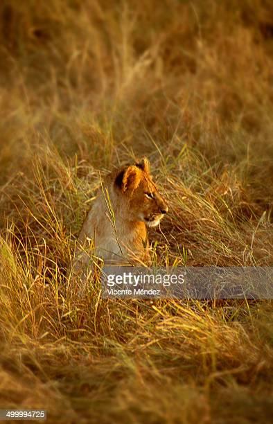 lion cub, masai mara national reserve - vicente méndez fotografías e imágenes de stock