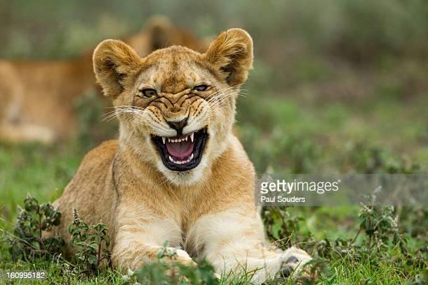 Lion Cub, Ndutu Plains, Tanzania