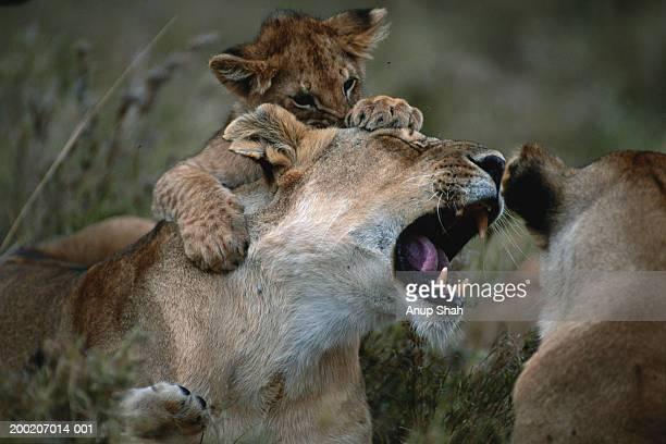 Lion cub (Panthera leo) on top of lioness, Masai Mara N.R, Kenya