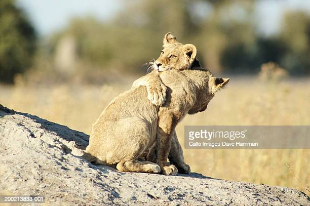 lion cub pair (panthera leo) playing on rock - lion cub stock photos and pictures