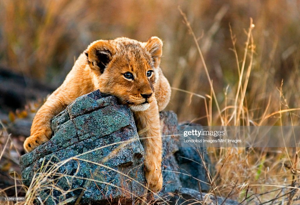 A lion cub, Panthera leo, lies on a boulder, draping its fron legs over the rock, looking away, yellow golden coat : Stock-Foto