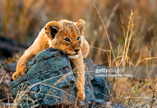 a lion cub, panthera leo, lies on a boulder, draping its fron legs over the rock, looking away, yellow golden coat - vilda djur bildbanksfoton och bilder