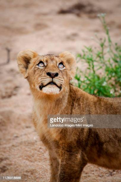 a lion cub, panthera leo, stands in sand, looking up out of frame, glossy eyes - out of frame stock pictures, royalty-free photos & images