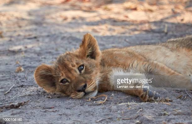 lion cub - lion cub stock-fotos und bilder