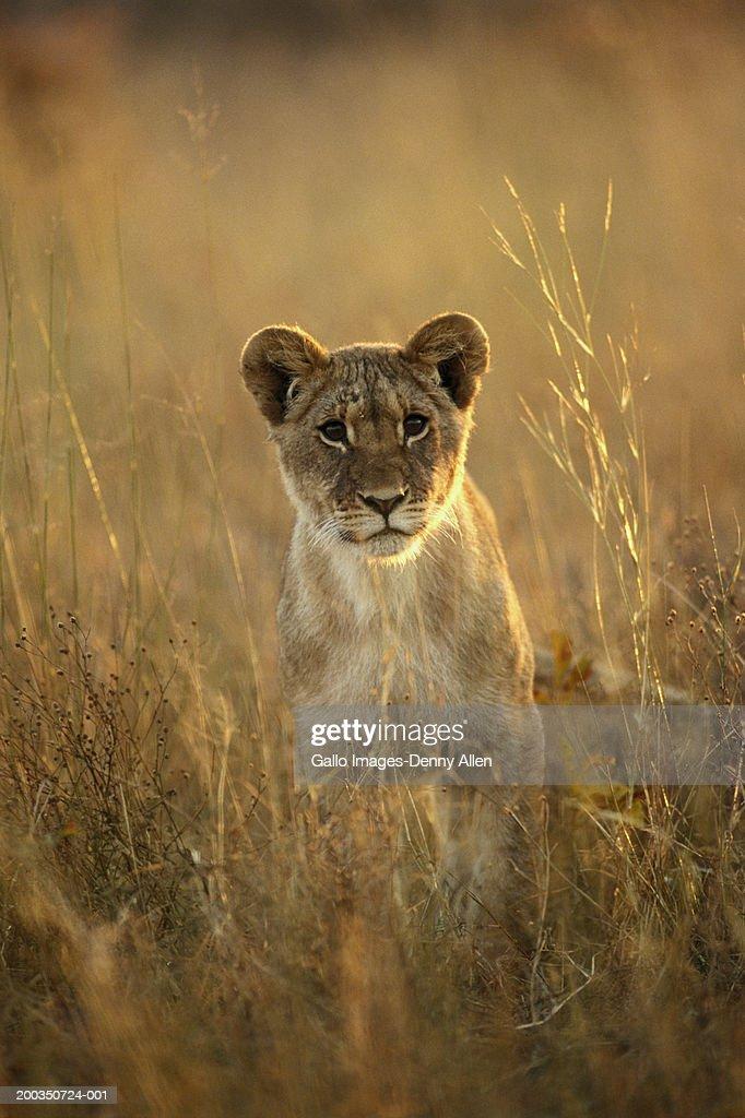 Lion cub (Panthera leo) : Stock Photo