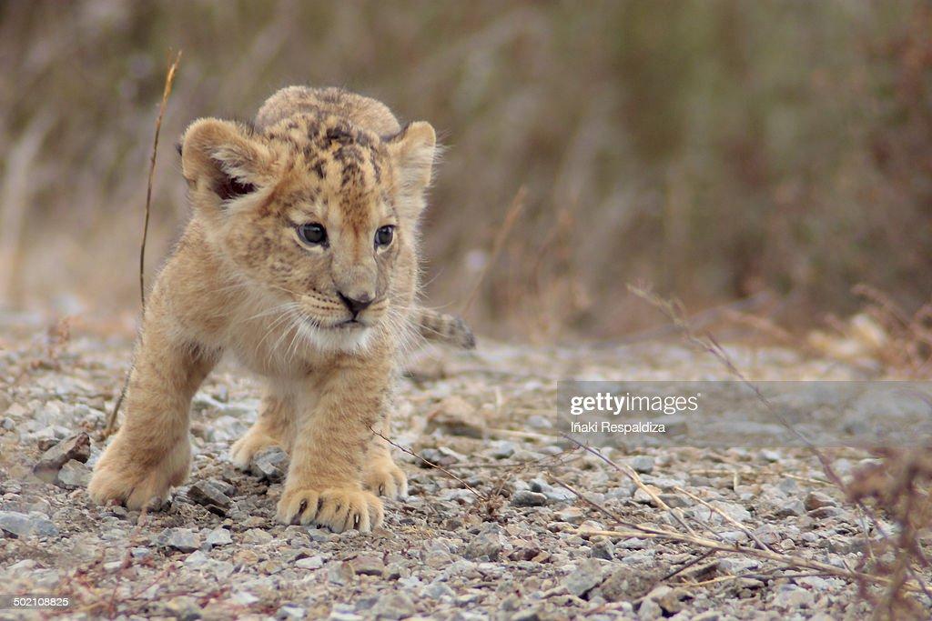 Lion Cub : Foto de stock
