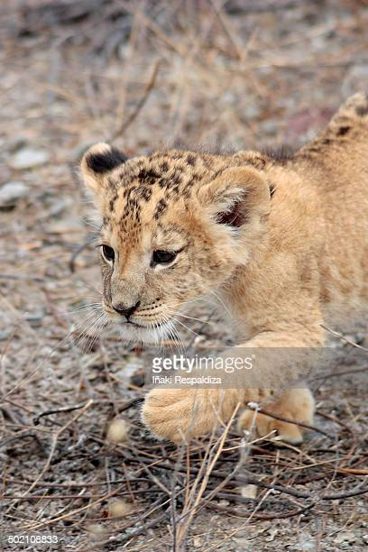 lion cub - iñaki respaldiza stock pictures, royalty-free photos & images