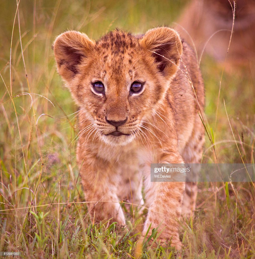 Lion cub : Stock Photo