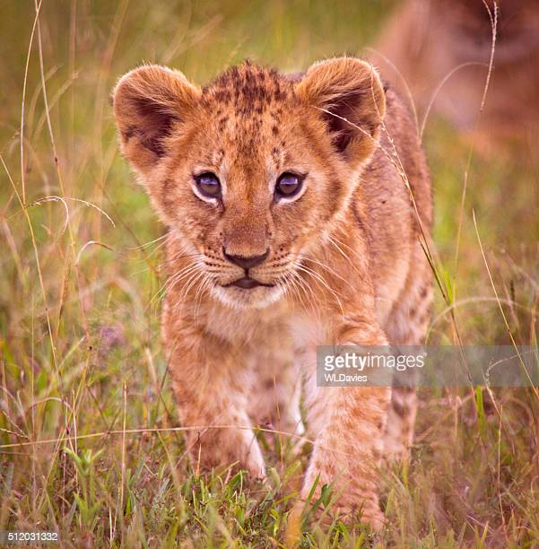 lion cub stock photos and pictures getty images