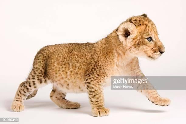lion cub - lion cub stock pictures, royalty-free photos & images