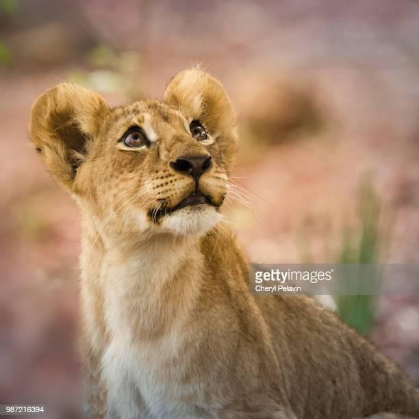 lion cub - lion cub - fotografias e filmes do acervo