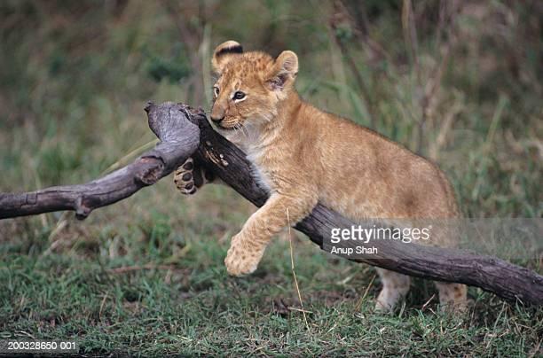 lion cub (panthera leo) playing on branch, kenya - lion cub stock-fotos und bilder